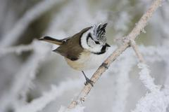 crested tit (parus cristatus), adult on branch with frost at minus 15 degrees - stock photo