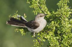 Northern mockingbird (mimus polyglottos), adult on saffron plum (sideroxylon  Stock Photos