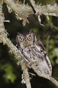 Eastern screech-owl (megascops asio) (otus asio), adult at night in texas oak Stock Photos