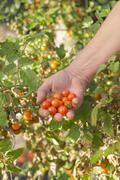 organic cherry tomatoes - stock photo