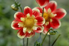 """der rote schorsch"", red and yellow flowers, dahlia (dahlia), bedding plant o - stock photo"