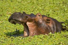 Stock Photo of yawning hippopotamus (hippopotamus amphibius) in a small water hole with aqua
