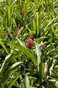 Red gingers (alpinia purpurata), mahe island, seychelles, indian ocean, afric Stock Photos