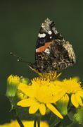 red admiral (vanessa atalanta), adult on texas squaw weed (senecio ampullaceu - stock photo