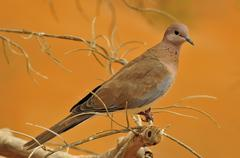 laughing dove (streptopelia senegalensis), the al ain zoo, al ain, abu dhabi, - stock photo