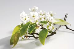 Blossoms of the nashi pear tree (pyrus pyrifolia) Stock Photos