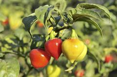 yellow and red chili peppers (capsicum) on a bush - stock photo