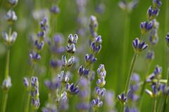 True or common lavender (lavandula angustifolia) Stock Photos
