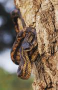Texas rat snake (elaphe obsoleta lindheimeri), adult climbing tree, lake corp Stock Photos
