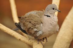 eurasian collared dove (streptopelia decaocto), in the al ain zoo, al ain, ab - stock photo