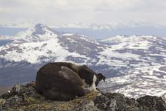 Resting sled dog, curled up, alaskan husky, mt. lorne, mountains, pacific coa Stock Photos