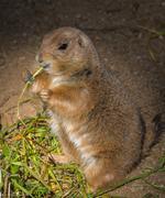 Little gopher eating grass Stock Photos