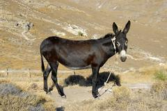 Black ass with a glossy coat standing in sere landscape, phrygana between sig Stock Photos