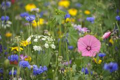 Summer meadow, cornflowers (centaurea cyanus), yarrow (achillea), mallow (mal Stock Photos