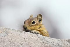 golden-mantled ground squirrel (spermophilus lateralis), mount rainier nation - stock photo