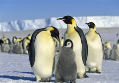 Emperor penguins (aptenodytes forsteri) with chick on iceshelf, antarctica Kuvituskuvat