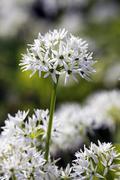 Stock Photo of flowering wood garlic, ramsons, bears garlic, wild garlic, buckrams (allium u