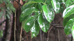 Amazon water on leaves  Stock Footage