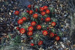 claret cup cactus (echinocereus triglochidiatus), blooming, chisos mountains, - stock photo