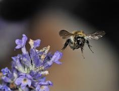 honey bee (apis), flying away from the true lavender (lavandula angustifolia) - stock photo