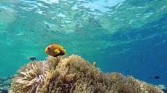 Maldive anemonefishes Stock Footage