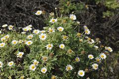 marguerite daisies (argyranthemum frutescens), la palma, canary islands, spai - stock photo