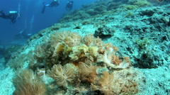 Devil scorpionfish camouflaged on reef amongst soft corals Stock Footage