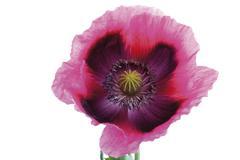 Opium poppies (papaver somniferum) Stock Photos