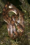 banded cat eye snake (leptodeira septentrionalis), costa rica, central americ - stock photo