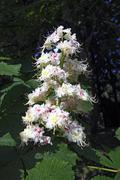 horse chestnut (aesculus hippocastanum) blossoms and green foliage in spring - stock photo