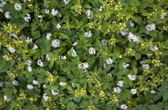 yellow archangel (lamium galeobdolon) and ramsons (allium ursinum) - stock photo