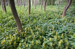 alluvial forest and yellow archangel (lamium galeobdolon), pielach near loosd - stock photo