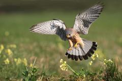 male common kestrel (falco tinnunculus) swooping down to loot - stock photo