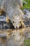 Eastern fox squirrel (sciurus niger), adult drinking from spring fed pond, uv Stock Photos