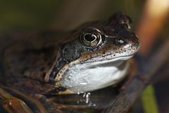 Common frog or european common brown frog (rana temporaria) Stock Photos