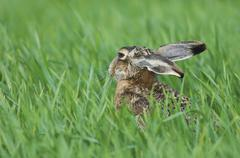 Brown hare (lepus europaeus), adult in meadow eating, national park lake neus Stock Photos