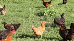 Domestic Chicken In The Meadow Stock Footage