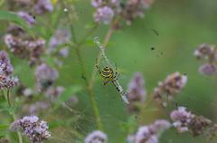 Yellow black wasp spider on web in middle flowering peppermint - stock photo