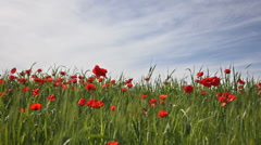 Blossoming poppies in the field under the blue sky Stock Footage