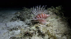 Lionfish (pterois) on coral reef Stock Footage