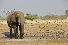 African bush elephant (loxodonta africana) and pigeons, drinking from savuti  Stock Photos