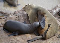 Stock Photo of brown fur seals (arctocephalus pusillus), suckling, on cape cross, namibia, a