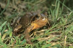 Common frog (rana temporaria) on its way to spawning waters Stock Photos
