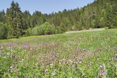 mountain meadow with red campion (silene dioica) and other spring flowers, in - stock photo