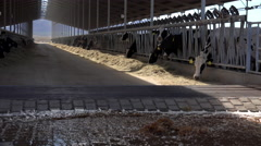 4K Cows Eat In Barn Beneath Cooling Fans Stock Footage