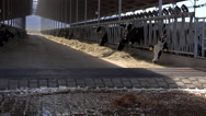 Stock Video Footage of 4K Cows Eat In Barn Beneath Cooling Fans