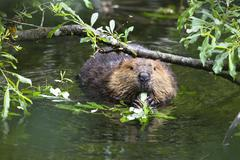 american beaver (castor canadensis) eating willow leaves, alaska, usa, north  - stock photo