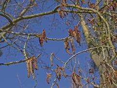 male catkins of the black poplar (populus nigra), endangered species - stock photo
