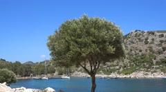 Olive tree in Turkey Stock Footage