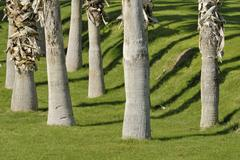 palm trunks, throwing shadows onto watered lawn, indian palm country club, in - stock photo